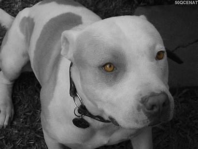Pitbull Iti Dogs Dog Pit Sekilleri Pitbulls