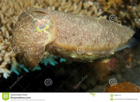 cuttlefish changing color cuttlefish royalty free stock images image 10984119