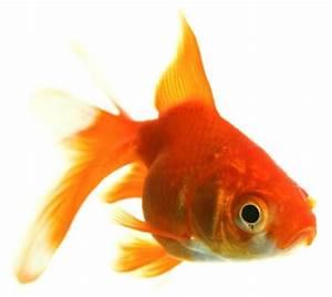 Cómo instalar un criadero de Gold Fish o Pez Dorado