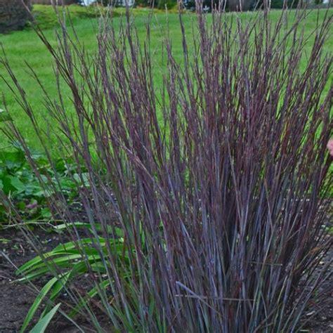 hardy grasses for the garden schizachyrium scoparium smoke signal hardy ornamental grasses ornamental grasses avant