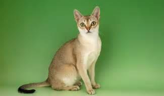 singapura cat singapura cat breed information