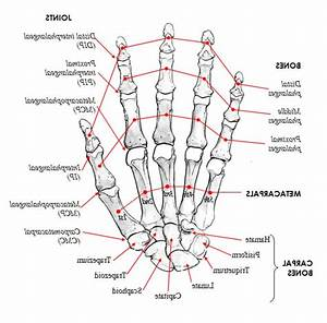 Right Hand Anatomy