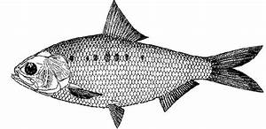 Milk fish clipart black and white collection