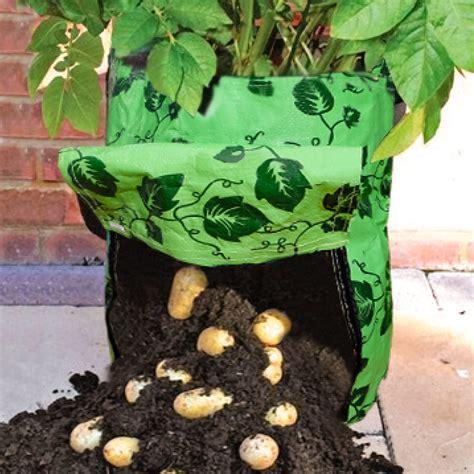tomaten kartoffel pflanze tomaten kartoffelpflanze