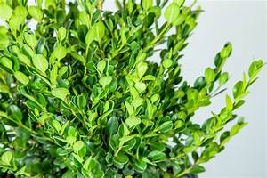 Wintergreen Boxwood - Perfect Plants