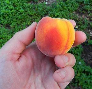 Update on growing peaches from seed | The Survival Gardener