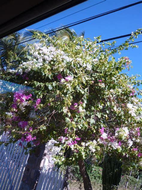 Free Stock Photo 4891 Tropical Climbing Flowers