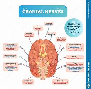 Cranial Nerves Vector Illustration  Labeled Diagram With