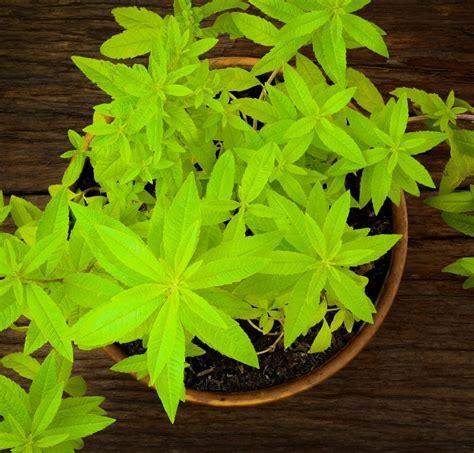vaso per pianta limoncina erba luigia pianta aromatica in vaso