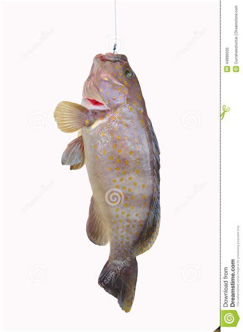 fish fresh sea grouper filet vissen verse fillet healthy gezond tandbaars voedsel overzees witte achtergrond delicacy fishmonger