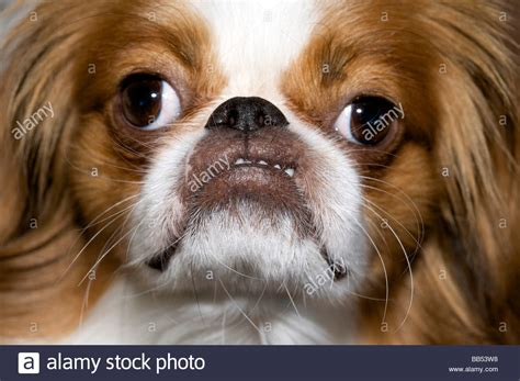 little dog pulling a funny face Stock Photo: 24084404 - Alamy