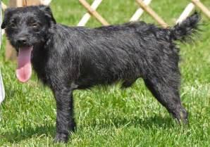 Patterdale Terrier Dogs Breeds