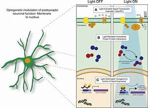 Integrating Optogenetic And Pharmacological Approaches To