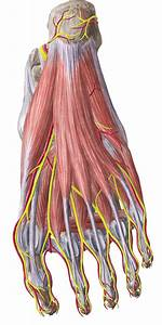 Ankle And Foot  Anatomy