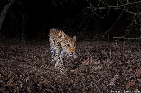 leopard  camera trap burrard lucas photography