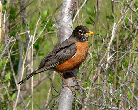 american robin photos birdspix