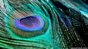 Wallpapers Of Peacock Feathers HD 2016 - Wallpaper Cave