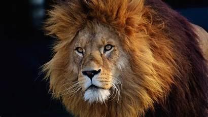 Lion Face Mane Wildlife 4k Uhd Wallpapers