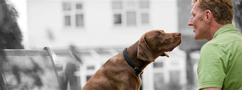 11 Things That You Have To Endure Of Your Vizsla For Real