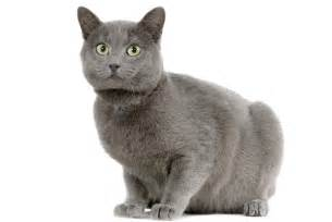 chartreux cat 7 facts about chartreux cats mental floss