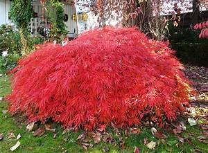 Roter Japanischer Ahorn : file japansk l nn wikimedia commons ~ Frokenaadalensverden.com Haus und Dekorationen
