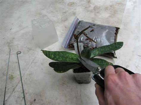 when to trim an orchid orchid pruning pictures