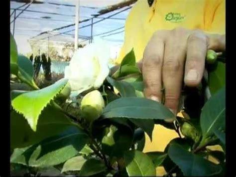 el jardinero en casa camelias youtube