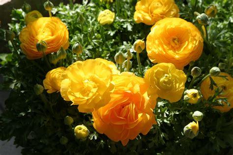 simple beauty ranunculus start  easy spring backyard