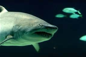 can sharks see color can sharks detect colour ask an expert abc science