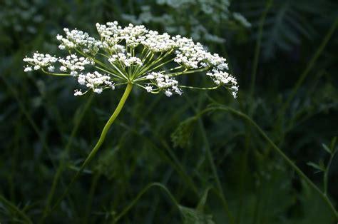 anise pimpinella anisum in flower bonnefont herb garden