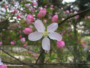 Apple Blossom Flower Picture