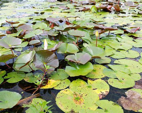 kenilworth aquatic gardens dc guide kenilworth park and aquatic gardens