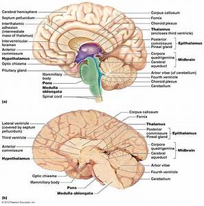 Midsagittal Section Of The Brain
