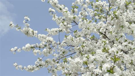 Branches of White Cherry Tree Stock Footage Video (100%