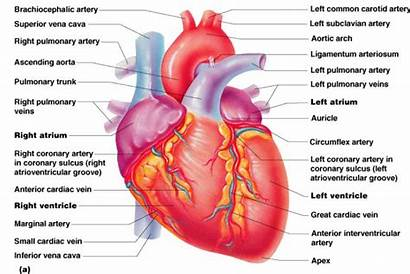 Heart Human Diagram Clipart Label Animated Wikiclipart