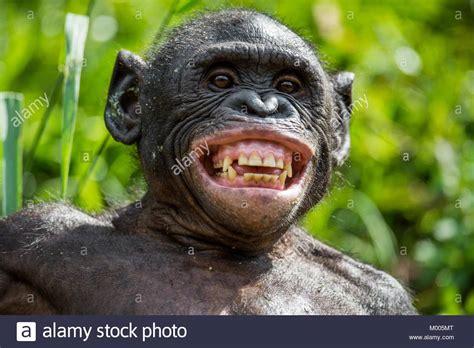 bonobos stock bonobos stock alamy