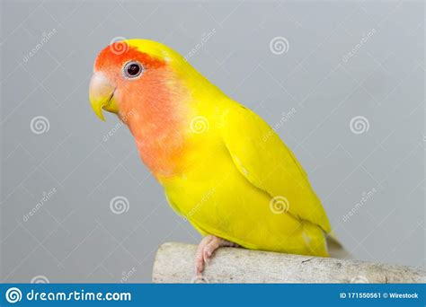 Closeup Shot Of A Peach-faced Lovebird With Colorful ...