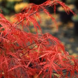Erable Du Japon Entretien : erable du japon 39 crimson queen 39 pot de 3 litres hauteur ~ Nature-et-papiers.com Idées de Décoration