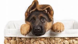 German Shepherd Puppies Wallpapers - Wallpaper, High ...