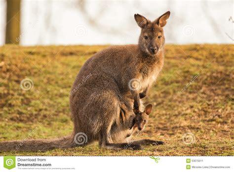 Kangaroo Mother With A Baby Stock Image Image Of Newborn