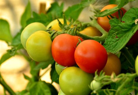 cultivation of tomatoes free images flower ripe food green red produce vegetable eat cultivation vegetables