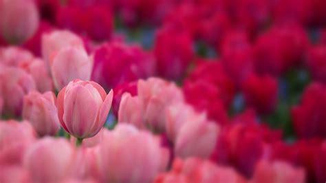 wallpaper tulips garden   flowers