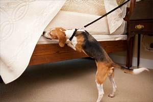 bed bug dog inspection nyc li bed bug detection With bed bug canine