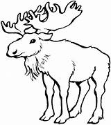 Moose Coloring Pages Drawing Outline Printable Antlers Colouring Adults Easy Drawings Related Posts Craft Animals Getdrawings Paintingvalley Getcolorings sketch template