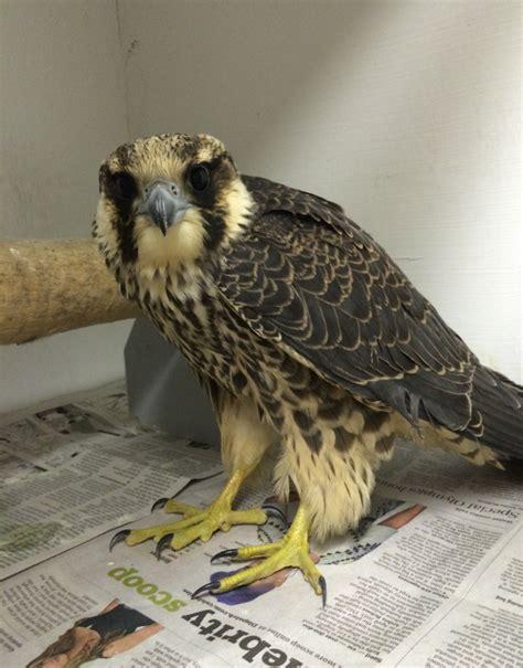columbus peregrine falcon update