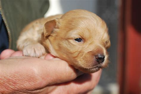 baby puppies newborn puppies baby images litle pups