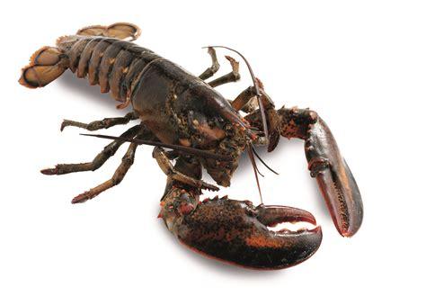 where to buy succulent lobster ramus seafood emporium premium fresh fish