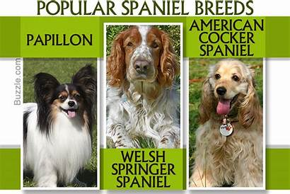 Breeds Spaniel Dogappy Exhaustive