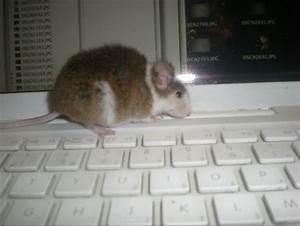 Comment Savoir Si L On Est Enceinte : comment savoir si ma rate et enceinte hamsters cochons d 39 inde lapins forum animaux ~ Dode.kayakingforconservation.com Idées de Décoration