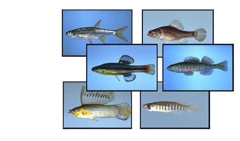 identification key  native freshwater fishes  florida